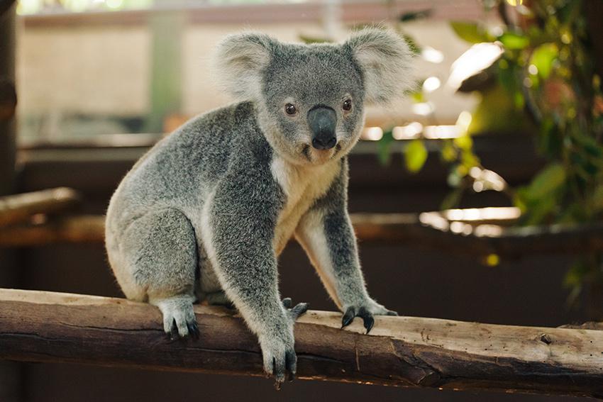 Koala Bear Planet Earth