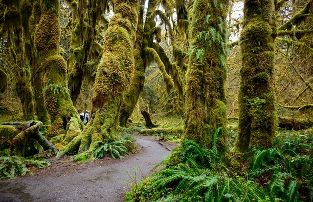 The Hoh Rainforest in Olympic National Park