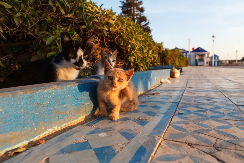 Kittens and cats of Essaouira