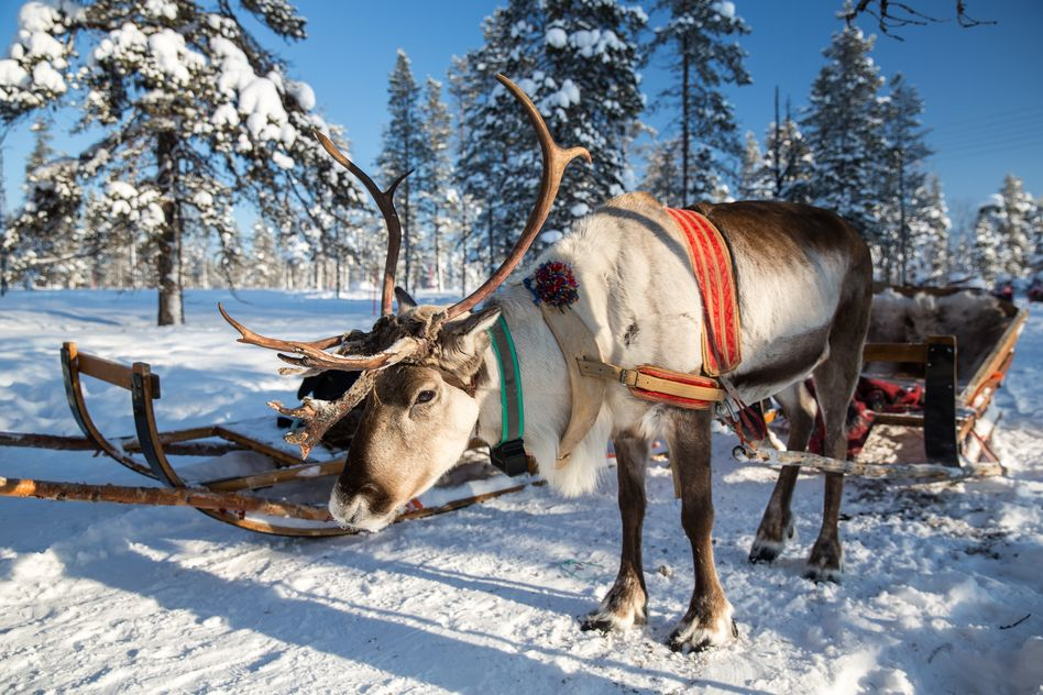 Reindeer in Lapland at Christmas