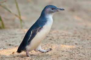 Little_Penguin_Feb09
