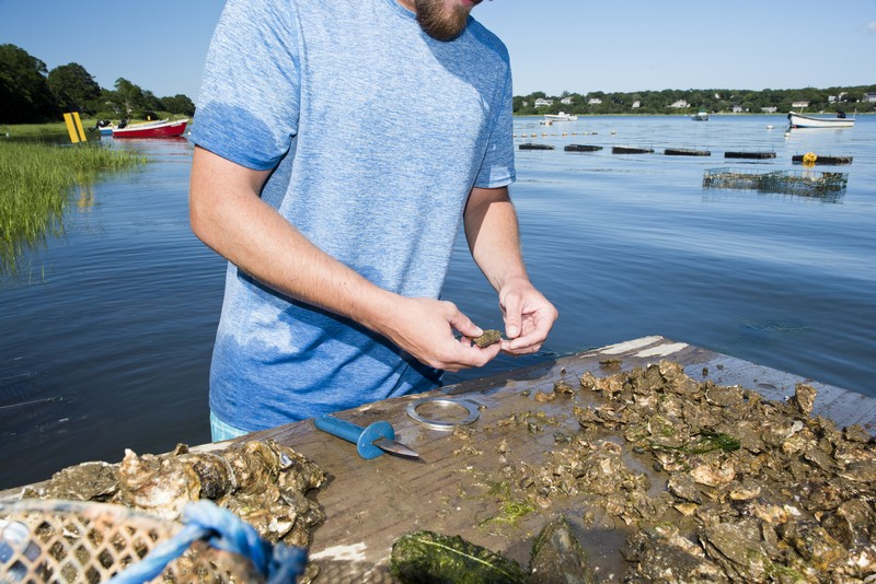 Oyster shucking in Cape Cod