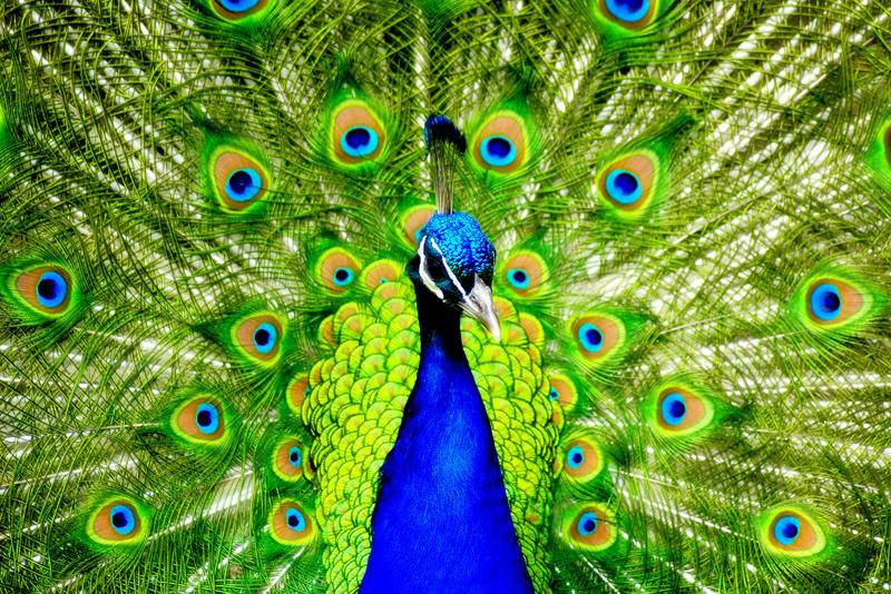 Most Beautiful Peacock In The World 44812 Movieweb