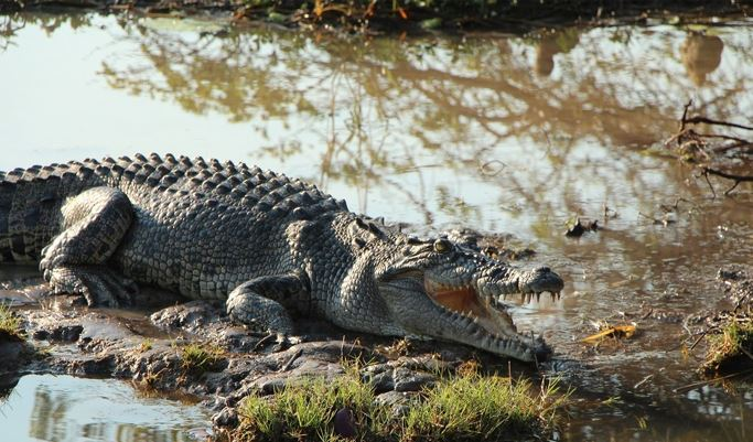 Crocodile Goa